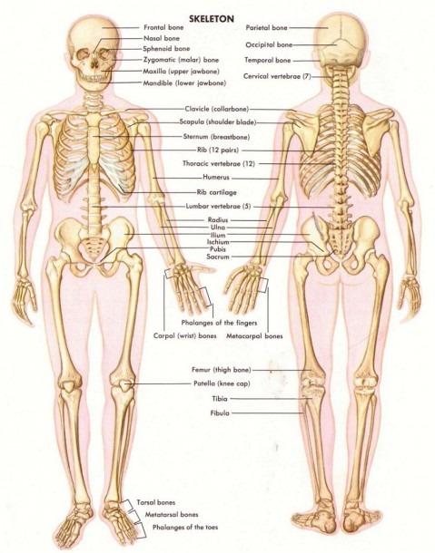 Collar Bone Anatomy Diagram And Bones Diagram Human Body Human