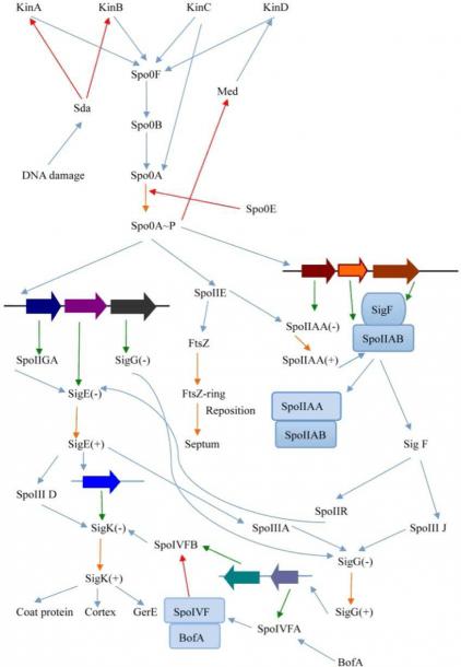 Complete Circuit Diagram Of Key Regulatory Genes In Sporulation