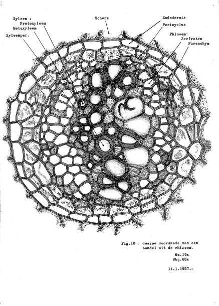 Cross Section Of Vascular Bundle In Rhizome