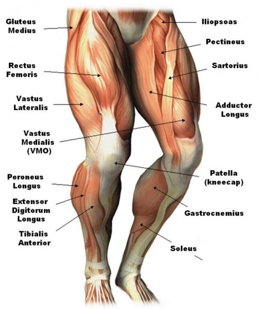 Upper Leg Muscles Common Names Archives