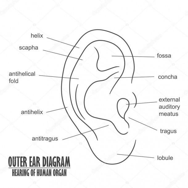 Outer Ear Diagram Hearing Of Human Organ — Stock Vector