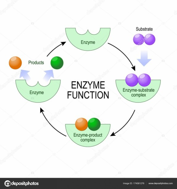 Enzyme Function  Vector Diagram For Medical, Educational And