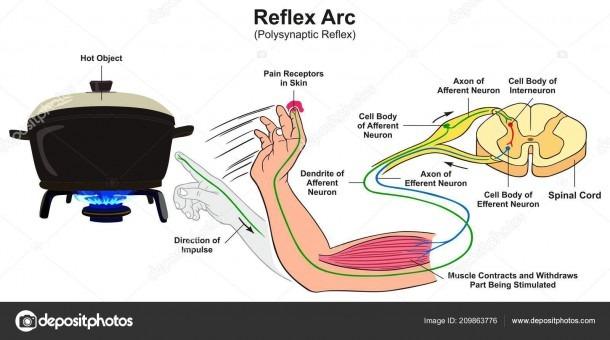 Reflex Arc Diagram