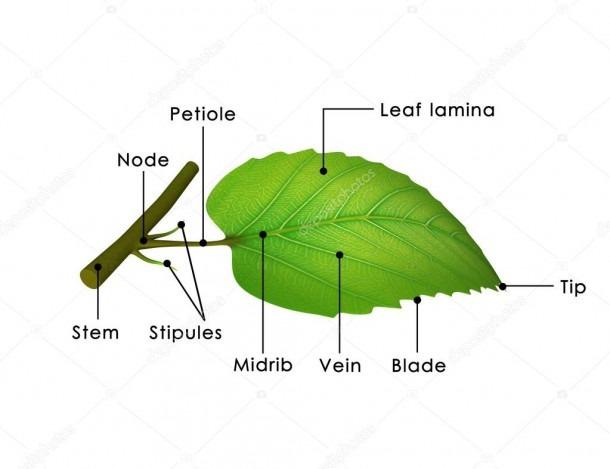 Leaf Structure Diagram — Stock Photo © Sciencepics  72993713