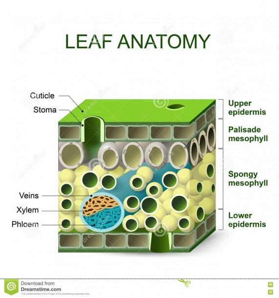 Diagram Of Leaf Structure Stock Vector  Illustration Of Biological