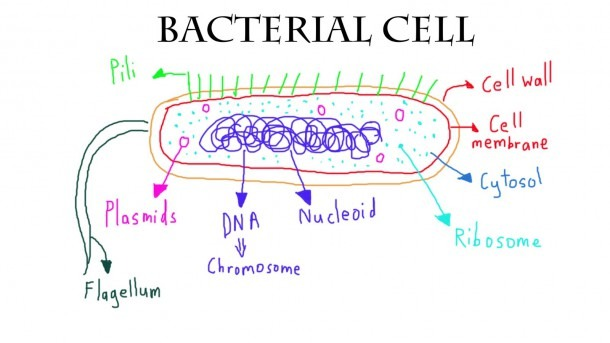 Bacteria Labeled Diagram Stock Vector Art & Illustration,  Of