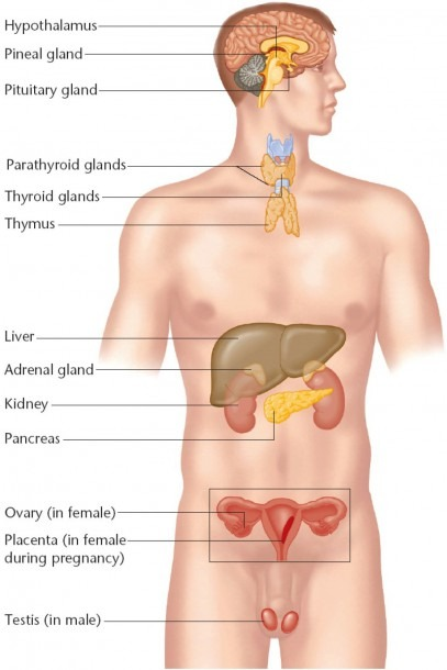 Diagram Of Endocrine System Of Human Endocrine System Diagram