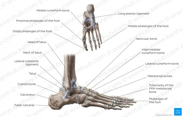 Diagram Of Foot Bones And Ligaments And Diagram   Pictures  Bones