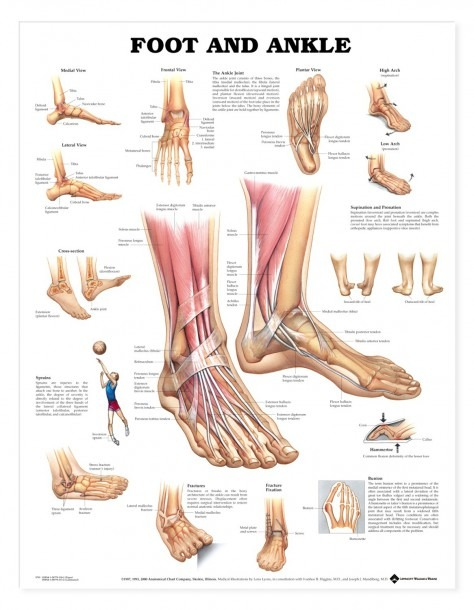 Diagram Of Foot Bones And Ligaments And Foot And Ankle Anatomical