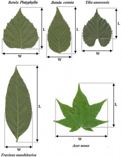 Diagram Of Leaves Showing The Positions Of Length And Width