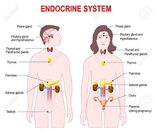 Diagram Of The Endocrine System Human Endocrine Glands Diagram