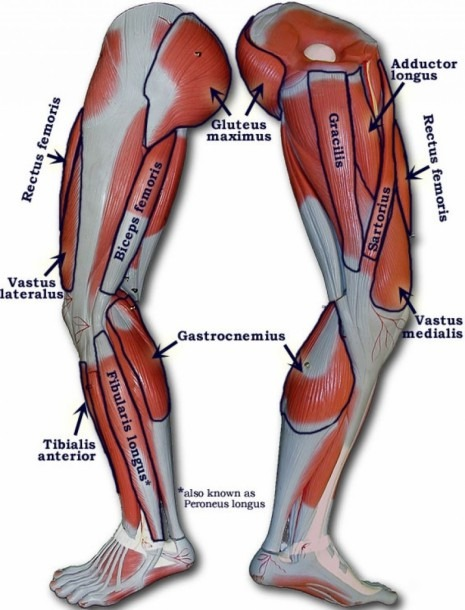 Diagram Of Thigh Muscles