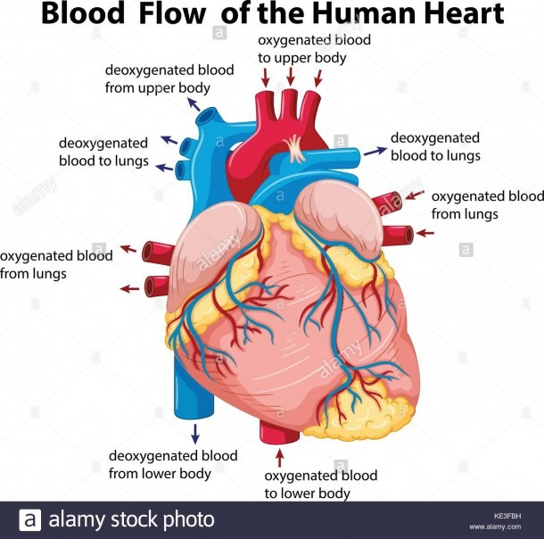 Diagram Showing Blood Flow In Human Heart Illustration Stock