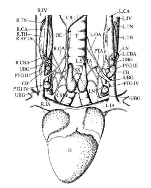 Diagram Showing Pharyngeal Endocrine Glands Of Treron
