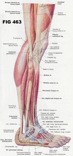 Leg And Foot Musculature