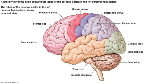 Labeled Diagram Of The Human Brain