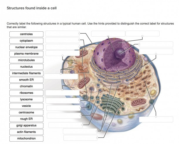 Egg Cell Diagram Labeled Best Of Human Cell Diagram – Diagram