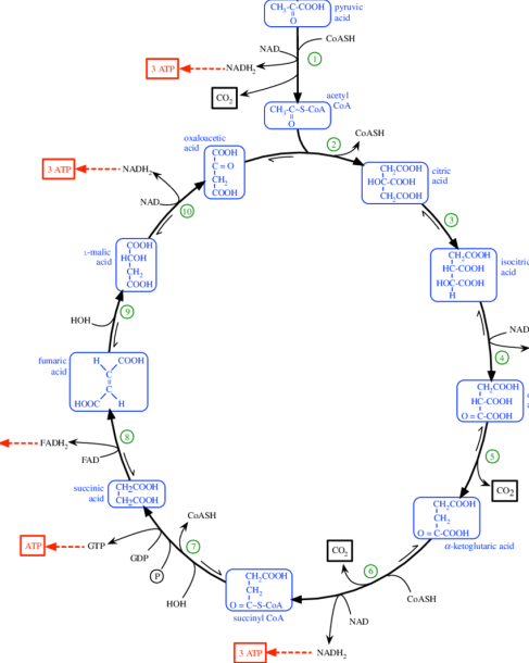 Embden–meyerhof Pathway And Krebs Cycle  (a) Enzymes Involved In