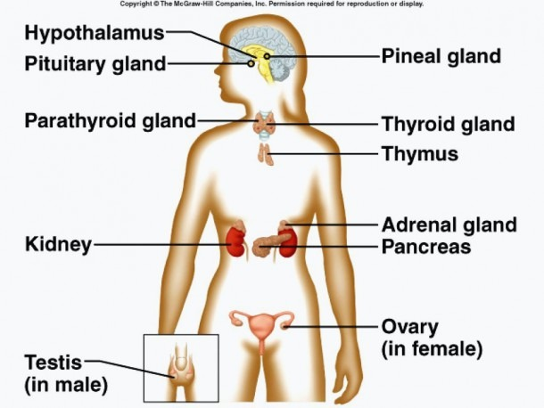 Endocrine System Diagram Labelled Endocrine System Anatomy D For