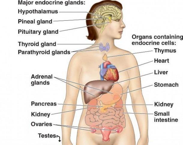 Endocrine System Label Endocrine Glands Diagram Picture Endocrine