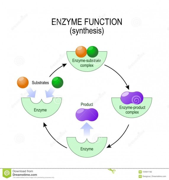 Enzyme Function  Synthesis  Substrate, Product, Enzyme