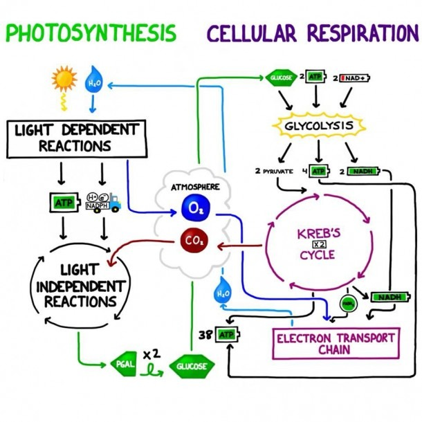 Interactions Between Photosynthesis And Cellular Respiration! Note