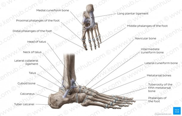 Diagram   Pictures  Bones Of The Foot (anatomy)