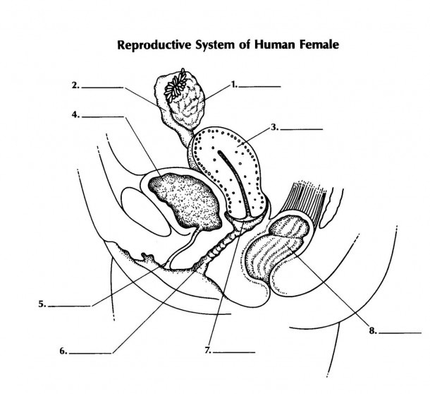 Human Reproductive System Diagram To Label