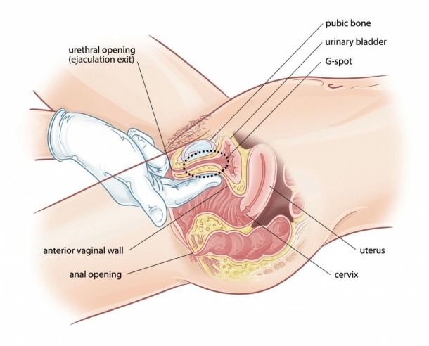 Female Excretory System Diagram Female Urinary System Photos