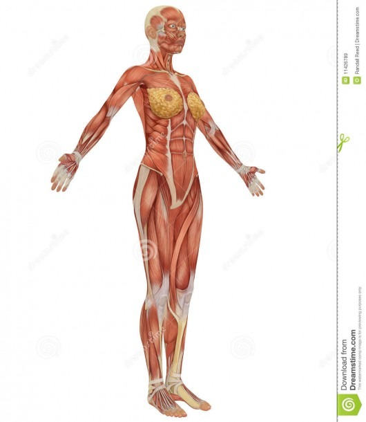 Female Muscular Anatomy Side View Stock Illustration