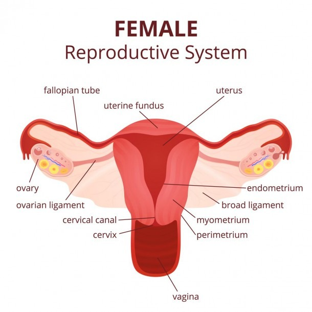 Female Reproductive Ovary And Labeled Diagram Of The Female