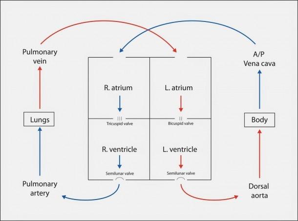 Fetal Blood Circulation Diagram Flow Diagram Fetal Circulation