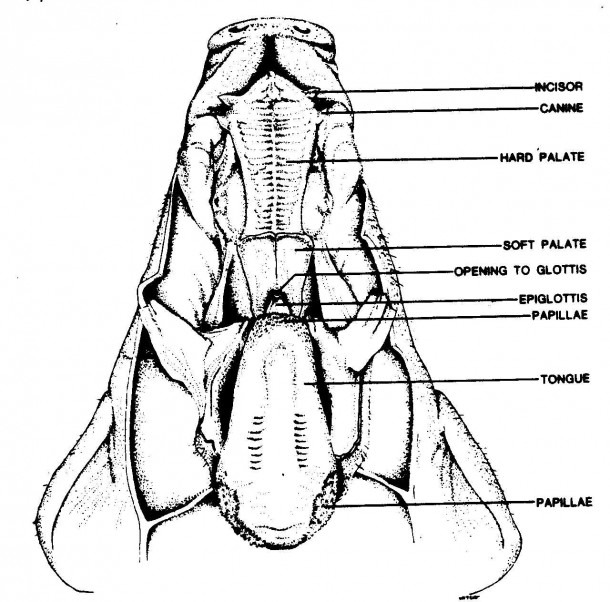 Fetal Digestive System And Fetal Pig Labeled Diagram Picture Of