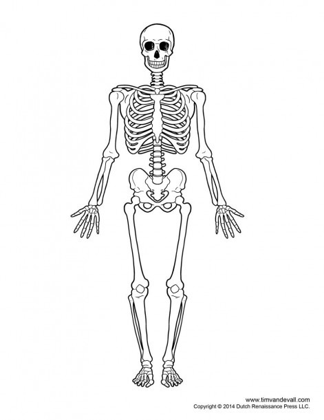 Fill In The Blank Skull Bones And Skeletal System Diagram Without