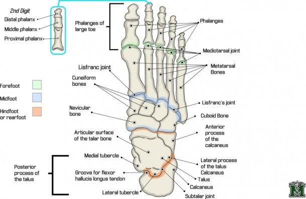 Blank Foot Bone Diagram