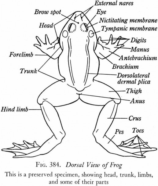 Frog Dissection Diagram Labeled