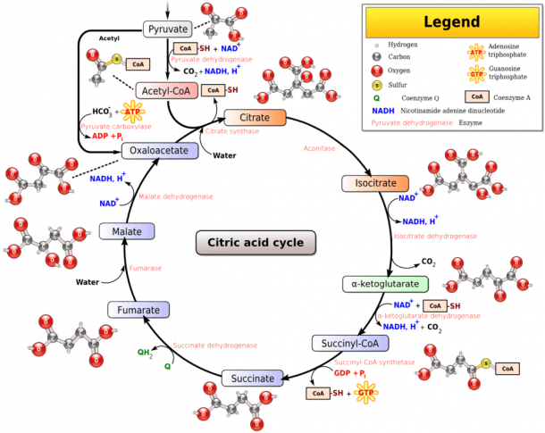 How To Memorize The Krebs Cycle (aka Citric Acid Cycle Or Tca
