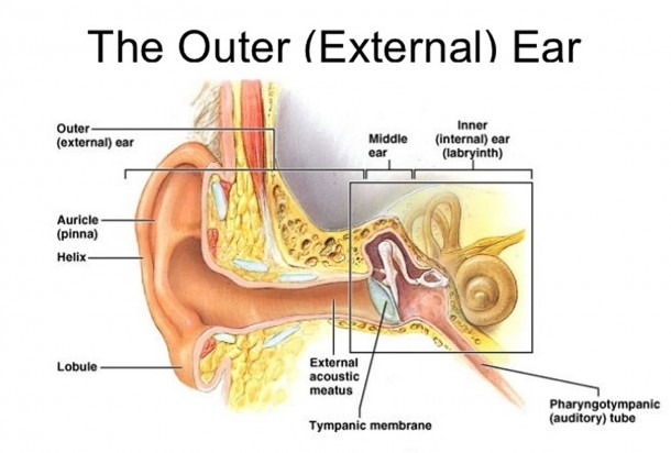Function Of Three Small Bones In Ear And Outer Ear Anatomy