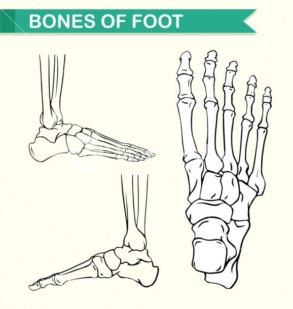 Diagram Showing Bones Of Foot Illustration Royalty