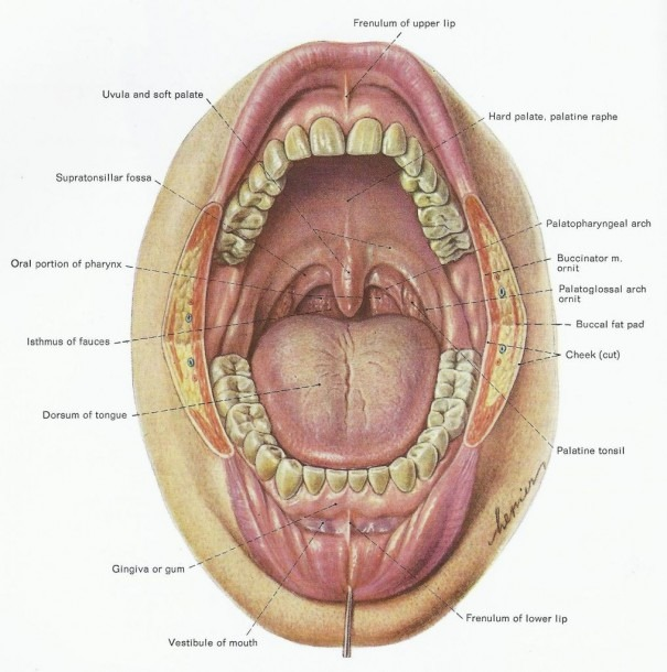 Gum Anatomy And Physiology Diagram