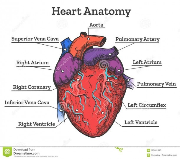 Heart Anatomy Colored Sketch Stock Vector