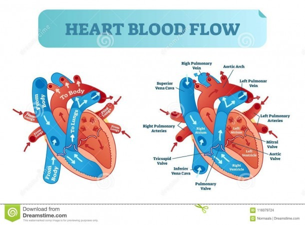 Heart Blood Flow Circulation Anatomical Diagram With Atrium And