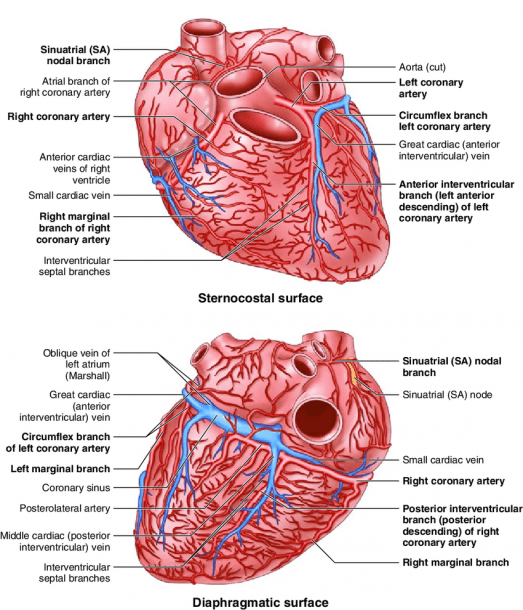 5 Heart Supply With Overview Of Arteries And Veins