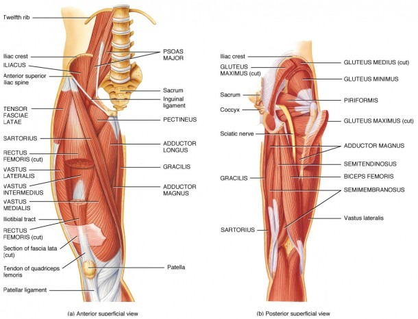 Hip Anatomy Muscles And Tendons And Hip Joint Muscles And Tendons