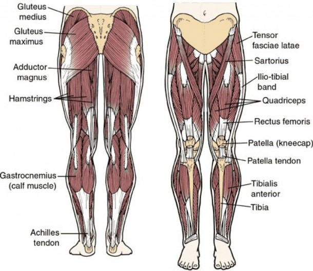 Hip Muscle Anatomy Diagram And Muscular Anatomy Of The Hip Human