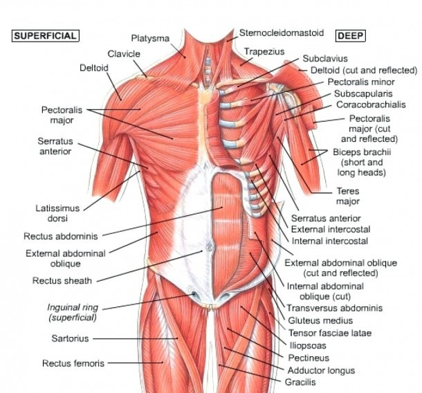 8+hip Muscles And Tendons