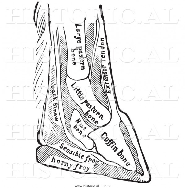 Historical Vector Illustration Of A Horse Diagram Featuring Foot