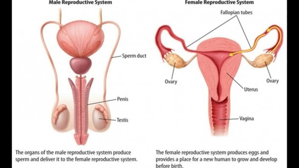 Human Body Reproductive System Diagram Human Reproductive System