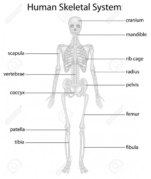 Human Body Skeletal System Label The Diagram Of Human Body
