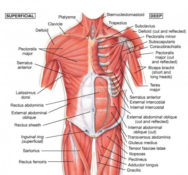 Human Chest Muscles Chest Muscle Diagram Muscle Diagram Of Human